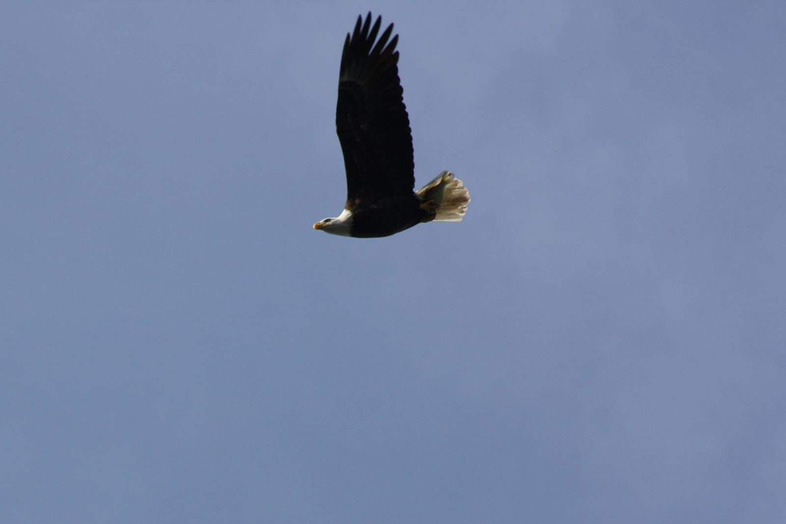 My own picture of a bald eagle at Conowingo Dam